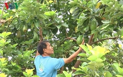 Trở thành triệu phú nhờ trồng bơ, sầu riêng xen trong vườn cà phê