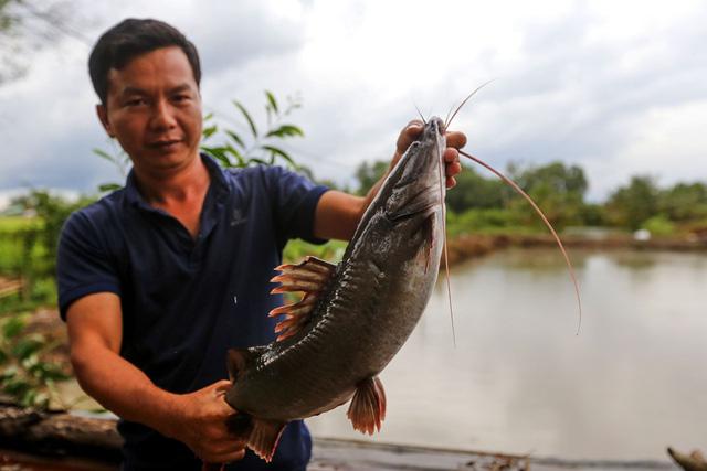 Anh Hiếu chọn nuôi cá lăng giống thay vì nuôi cá lăng lớn để bán vì điều kiện ao hồ không đủ. Cá bố mẹ đạt chuẩn phải 30 - 36 tháng tuổi, nặng từ trung bình 3 ký. Mỗi năm, anh nhập khoảng 4 tấn cá giống về nuôi sinh sản, với giá trung bình khoảng 120.000 đồng một ký.