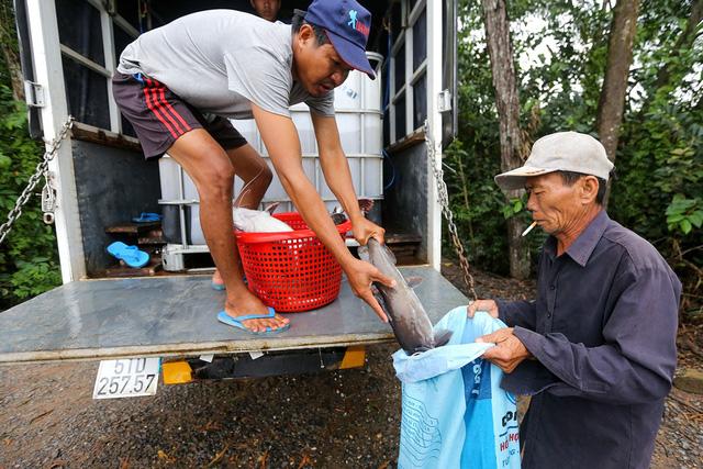 Loại cá lăng anh Hiếu nuôi thuộc dòng lăng nha. Đây là một trong những loài cá lăng lớn trong khu vực châu Á, có thể nặng tới 80 ký. Vây đuôi có màu trắng khi cá còn nhỏ và thành màu đỏ tươi khi cá dài khoảng 15 cm.