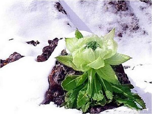 Hoa sen núi tuyết 7 năm mới nở hoa: Tăng sinh lực, 100 triệu đồng/kg