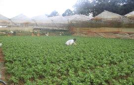 Giá các loại nông sản Đà Lạt bất ngờ giảm mạnh