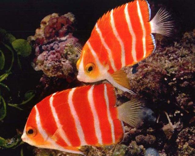 Cá thiên thần Peppermint có giá khoảng 30.000USD/con.