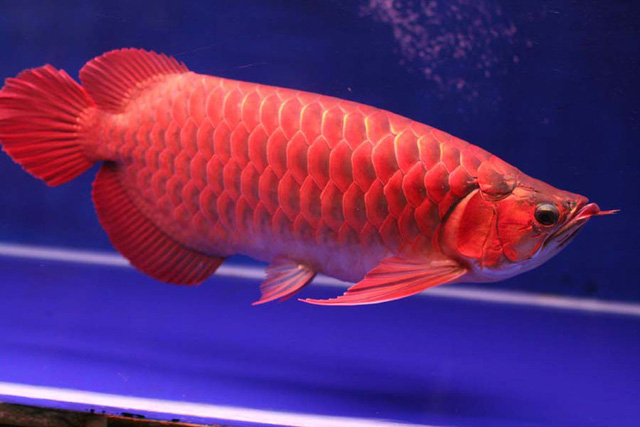 Con cá đỏ rực hơn 1 tỷ đồng: Đại gia săn nuôi cầu may