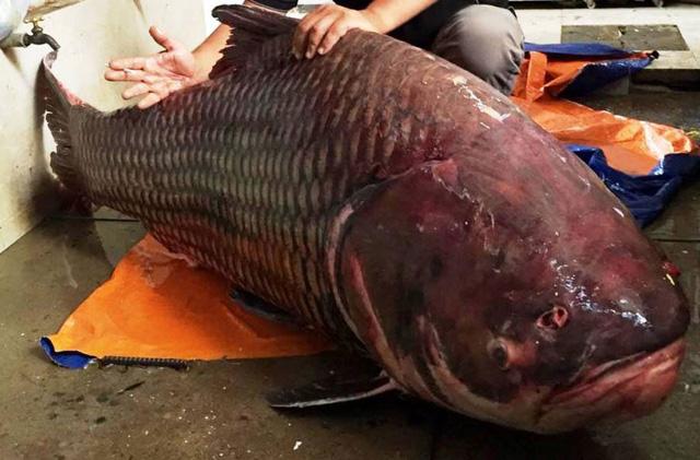 Cá hô đỏ là giống cá quý hiếm.