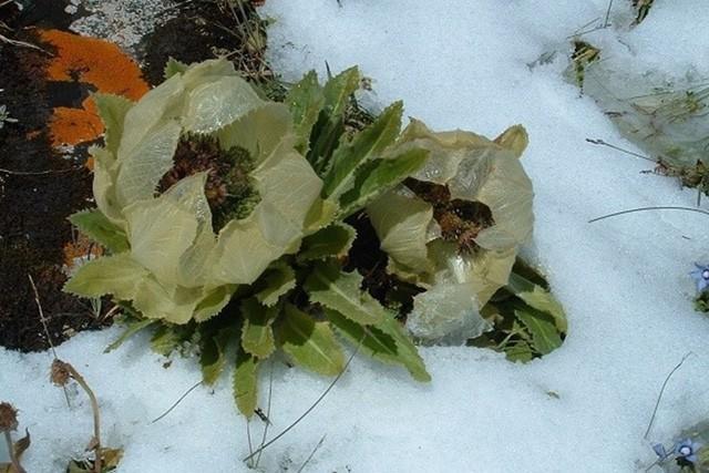 Hoa sen núi tuyết nảy mầm ở nhiệt độ 0 độ C, sinh trưởng trong điều kiện 3-5 độ C, và chịu được lạnh -21 độ C.