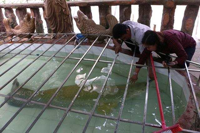 Con cá hải tượng khổng lồ dài gần 2m, nặng hơn 130kg của ông Hoài.