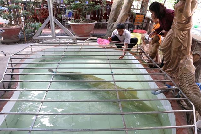 Con cá hải tượng trong quán của ông Hoài rất thân thiện với mọi người, sẵn sàng nằm im cho người ta vuốt ve, nựng nịu.