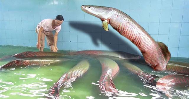 Đàn cá hải tượng khổng lồ của gia đình ông Đặng Văn Ninh.