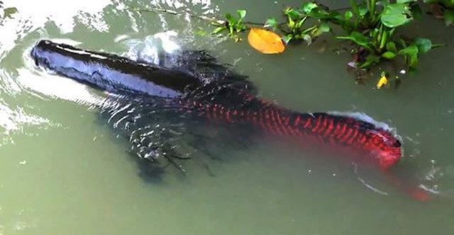 Con cá hải tượng này sinh sản trong môi trường ao nuôi tại Tây Ninh.