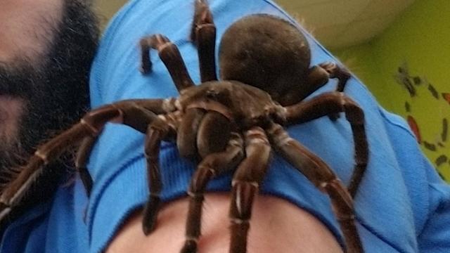 Một con nhện Tarantula tại Philadelphia Instectarium và Butterfly Pavilion. (Nguồn: Handout)
