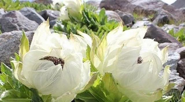 Hoa thiên sơn tuyết liên có giá tới vài triệu đồng/bông vẫn được nhiều người đặt mua