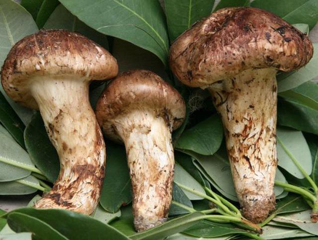 Nấm Tùng Nhung, loại nấm quý hiếm và có giá đắt đỏ bậc nhất trên thế giới.