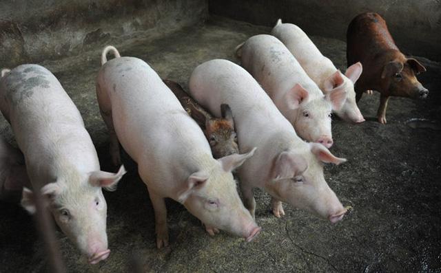 Hải quan có công văn hoả tốc chặn dịch tả lợn châu Phi vào Việt Nam