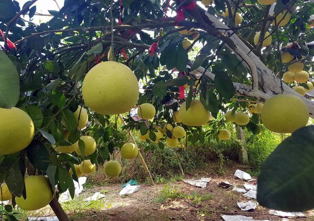 Mỗi cây bưởi ông Khẩn trồng trung bình có khoảng 100 quả, có cây lên tới 200 quả.