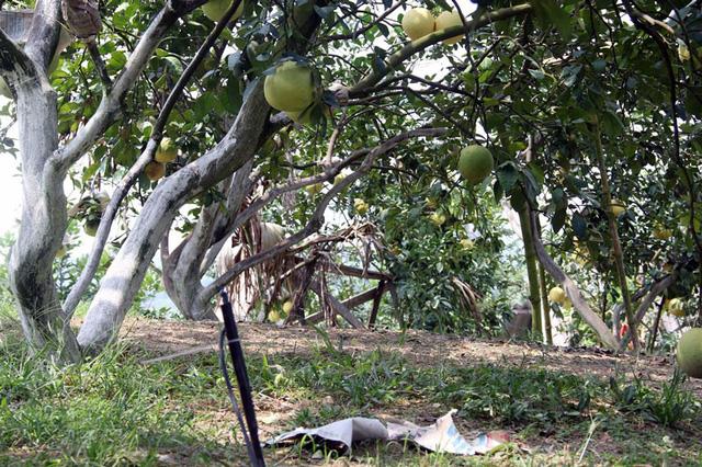 Theo ông Khẩn, để vườn bưởi đạt chất lượng và đậu quả cao, mỗi cây bưởi đều phải quét vôi trừ sâu bệnh
