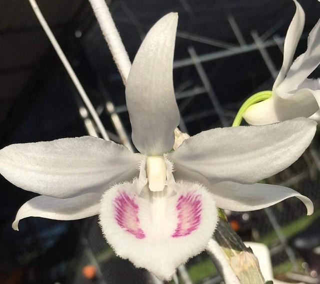 Vẻ đẹp độc đáo của bông lan 5 cánh trắng.