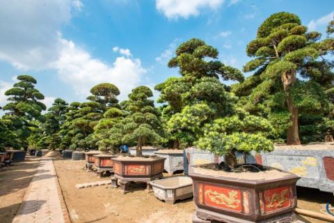 Tùng La hán Nhật được các đại gia Việt Nam săn lùng, sẵn sàng bỏ ra hàng tỷ đồng để sở hữu.