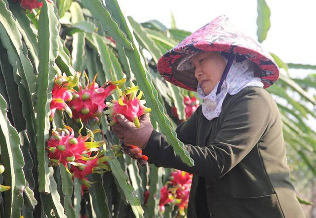 Nhiều nhà vườn trồng thanh long khóc ròng vì đến đợt thu hoạch mà thương lái không tới mua