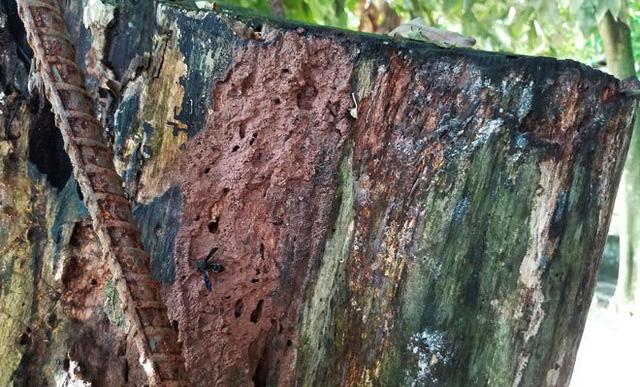 Phần gốc cây xuất hiện nhiều vết nứt, mối mọt.