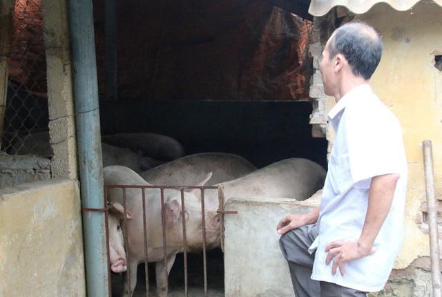 Sau thời gian giá xuống, đến nay giá lợn hơi đã tiến triển, nhưng việc tái đàn cũng khá khó khăn