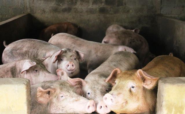 Phía Sở NN & PTNT đã có định hướng đến người chăn nuôi, nhất là các thông tin về thị trường, quy mô đàn trên địa bàn để điều chỉnh chăn nuôi phù hợp. Cùng với đó khuyến cáo người dân không tăng trưởng nóng quy mô đàn khi giá lợn lên cao để phòng rủi ro như đã từng xảy ra năm 2016.