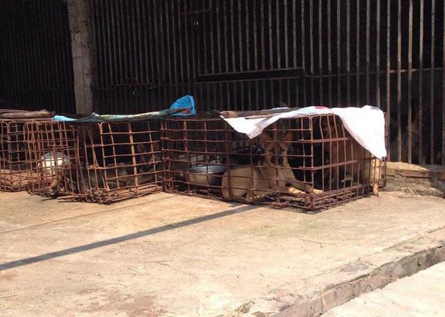 Nhiều lồng chó được nhập về từ nhiều nơi tập kết ngoài cánh đồng thuộc làng Cao Xá Hạ.