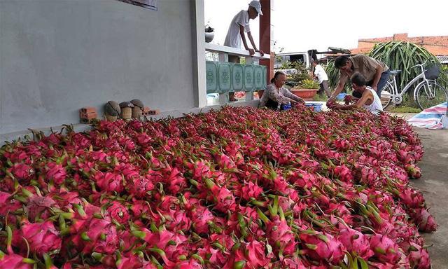 Trung bình mỗi ngày Việt Nam xuất khẩu 13 ngàn tấn thanh long sang Trung Quốc