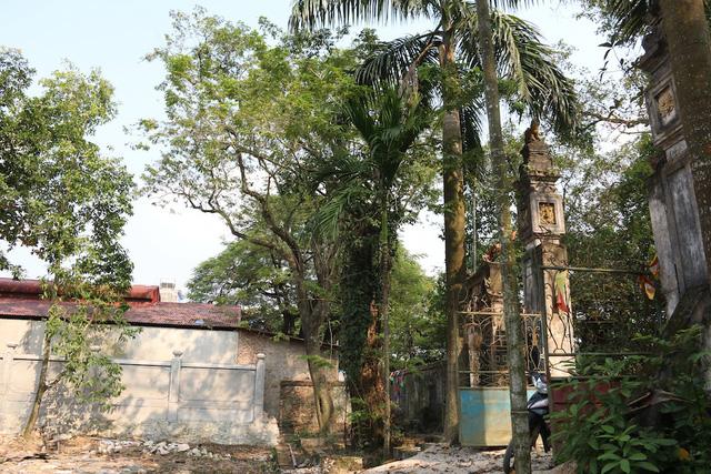 Cây sưa có tuổi đời trên 100 năm ở làng Phụ Chính (xã Hòa Chính, Chương Mỹ, Hà Nội). Ảnh: Trọng Trinh