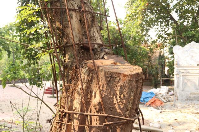 Năm 2010, người dân trong thôn đồng ý bán một nhánh cây sưa cho ông Dương Văn Thái với giá 20.5 tỷ đồng. Ảnh: Trọng Trinh