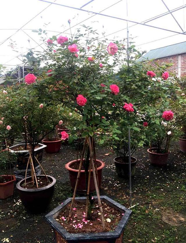 Những cây hồng giá tiền triệu dịp này cũng được chọn mua làm quà 20/10 nhiều