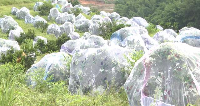 Người dân xã miền núi Thanh Đức, huyện Thanh Chương, tỉnh Nghệ An gắn phát triển cam không có thuốc bảo vệ thực vật khi thực hiện đề án mắc màn cho cam khi quả bắt đầu chín.