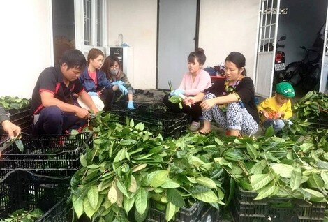 Vương quốc bí ẩn 40 loài trà hoa vàng quý hiếm ở Việt Nam