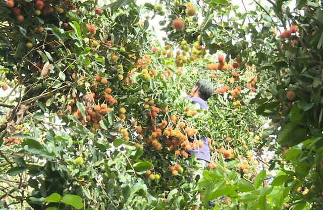 Vườn chôm chôm trĩu quả của người dân