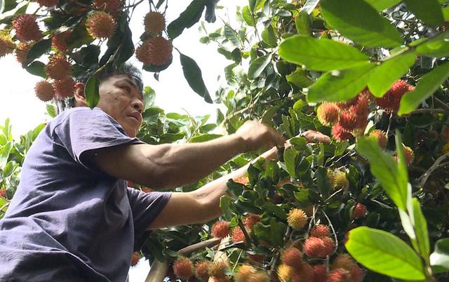 Trồng chôm chôm nghịch mùa, nông dân phấn khởi vì giá cao