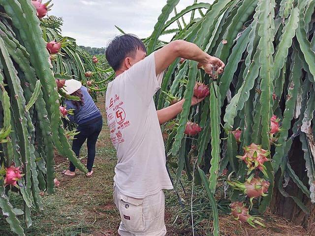 Thanh long là một trong những mặt hàng đang được xuất khẩu mạnh sang TQ. Ảnh: Quang Huy