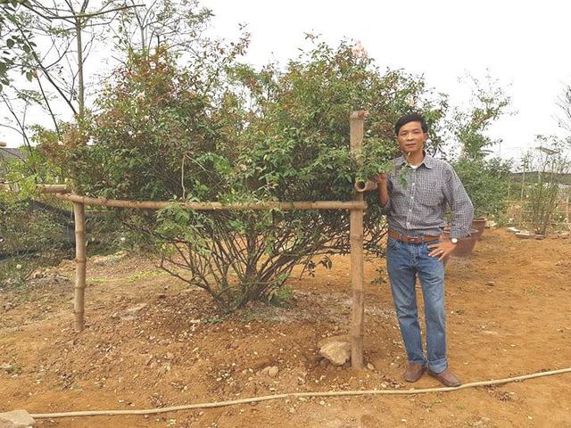 Anh Phạm Văn Hưng bên cây hoa hồng phấn cổ hàng chục năm tuổi.
