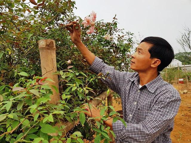Mất rất nhiều công sức anh Hưng mới đưa được cây hồng cổ từ Thanh Hóa về Ninh Bình, hiện nay cây đã xanh tốt.