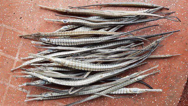 Gom mua cá lìm kìm gai, vơ vét cả cây dại: Bí mật của thương lái Trung Quốc