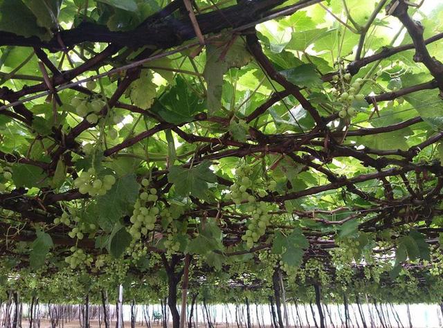 """Ninh Thuận: Nông dân trồng nho """"méo mặt"""" vì bão số 9"""
