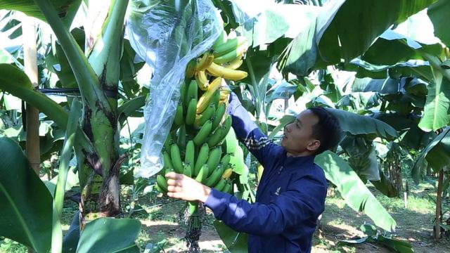 Hà Nội: Hàng nghìn buồng chuối nghi bị phun thuốc ép chín