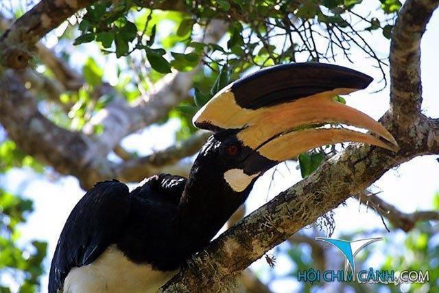 Chim Cao Cát có vẻ ngoài xấu hơn chim Hồng Hoàng. Việc phân biệt 2 loài chim này giúp chúng ta tránh được nguy cơ xử lý hình sự khi ăn thịt.