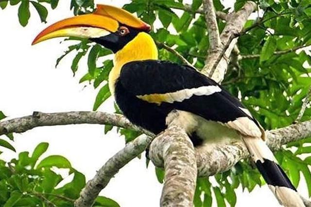 Chim Hồng Hoàng có màu sắc đẹp hơn, mỏ vàng tươi hơn và trọng lượng lớn gấp đôi chim Cao Cát. Đuôi của chim này chia làm 3 phần màu, trong khi Cao Cát chỉ có 2 phần màu.
