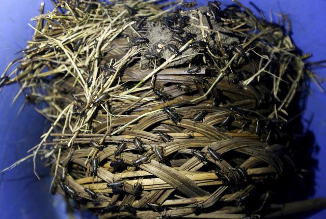 Thức ăn của dế khá đơn giản như cám, ngoài ra còn có thêm cỏ khô, ở dưới đáy chậu có bình nước nhỏ cho dế uống, anh Tùng chia sẻ phương pháp nuôi dế.