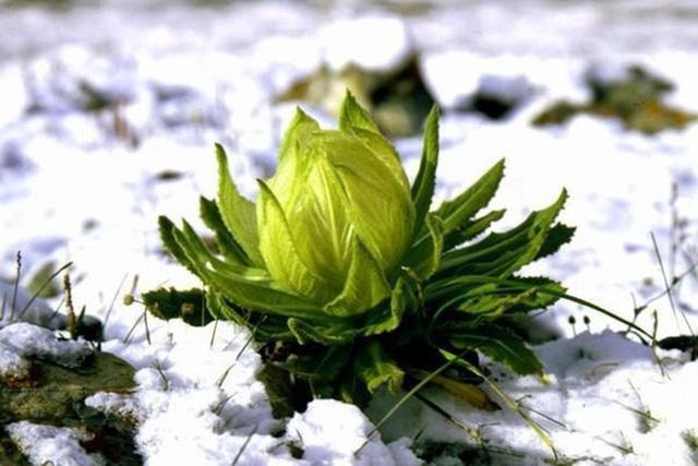 Thiên sơn tuyết liên được dùng để pha trà của dân Việt