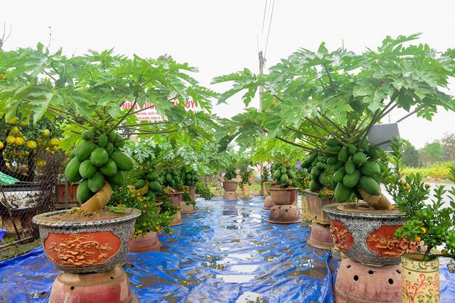 Độc đáo vườn đu đủ bonsai trĩu quả chơi Tết