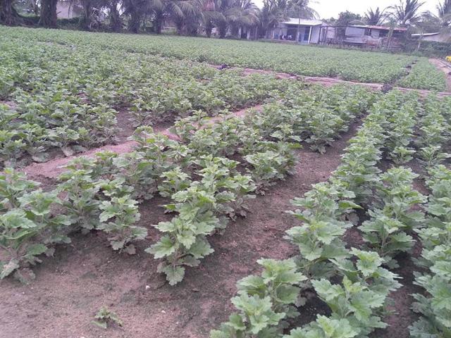 Nhiều diện tích hoa cúc tết ở làng hoa Mỹ Bình bị trễ nụ do thời tiết lạnh và mưa nhiều, không kịp cung ứng cho thị trường tết nguyên đán