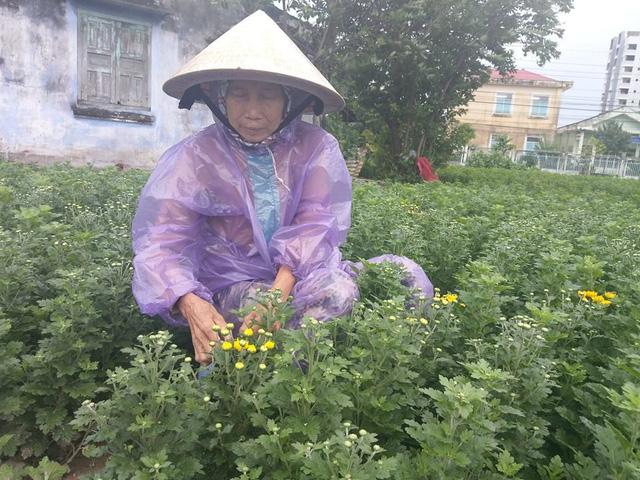 Nông dân làng hoa Mỹ Bình lo lắng sẽ mất tết khi tết đã cận kề mà hoa chưa chịu nở