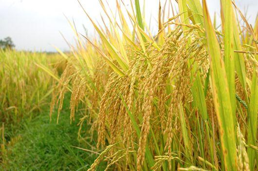Vợ chồng già khụ vẫn phải đi đòi UBND tỉnh Bạc Liêu tiền mua lúa từ 43 năm trước