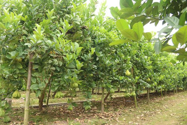 Theo những người trồng phật thủ ở Hoài Đức tiết lộ, cây chỉ có thể phát triển tốt và cho hiệu quả thu hoạch cao nhất trên một mảnh đất khoảng 5 năm. Vì vậy cứ sau một chu kỳ 5 năm, người trồng phật thủ buộc phải tìm những mảnh đất mới để trồng.