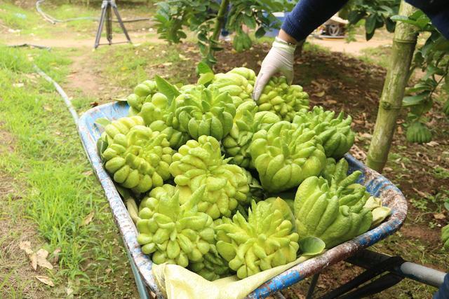 Một chủ hộ sở hữu 5 mẫu phật thủ đang cho thu hoạch ở năm thứ 4 cho biết, gia đình anh thường bán buôn tại vườn, bán khoán cho thương lái đến hái mang đi. Nếu bán buôn cả vườn thì một vườn giá thương lái đang mua khoảng 400 triệu đồng, rộng khoảng một mẫu ruộng.